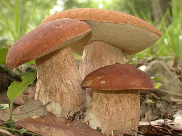 I Funghi Porcini della Tuscia